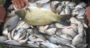 Pește fără documente, confiscat la Râfov